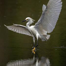 Snowy Egret Landing by MaryJane Sesto