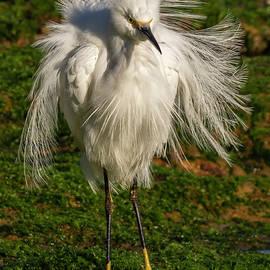 Snowy Egret Plumage 03-12 by Bruce Frye