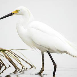 Snowy Egret Profile by Alice Schlesier