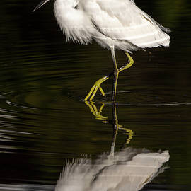Snowy Egret Reflected 02-01 by Bruce Frye