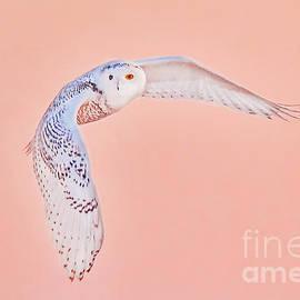 Snowy Owl Flying B-Sn 014 by Wei Tang