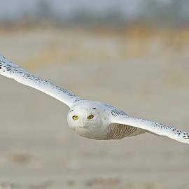 Snowy Owl in Flight at the Beach by Morris Finkelstein