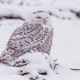Snowy Owl In The Snow by Morris Finkelstein