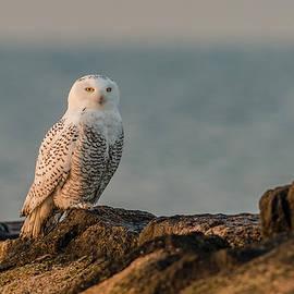 Snowy Owl On A Rock Jetty #2 by Morris Finkelstein