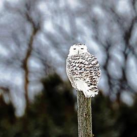 Snowy Owl On Fence Post by Debbie Oppermann