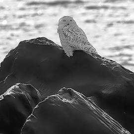 Snowy owl on the rocks  . . . .say yes by Geraldine Scull