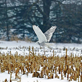 Snowy Owl Over The Winter Corn Field by Debbie Oppermann