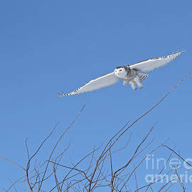 Snowy owl soaring high by Heather King
