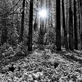 Snowy Yosemite Woods by Francis Sullivan