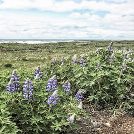 Soft Lupines at the Edge of the Sea by Debra and Dave Vanderlaan