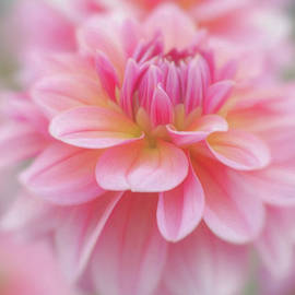 Soft Pink Dahlia by Teresa Wilson