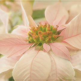 Soft Pink Poinsettia by Teresa Wilson