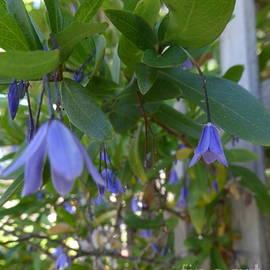 Sollya heterophyllla 'Blue Bell' climbing Native.  by Rita Blom