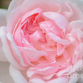 Sometimes, Roses Are Pink by Janice Noto