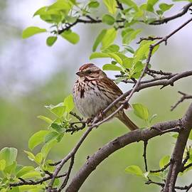 Song Sparrow in Spring by Marlin and Laura Hum