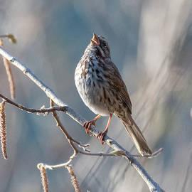 Song Sparrow by Joy McAdams