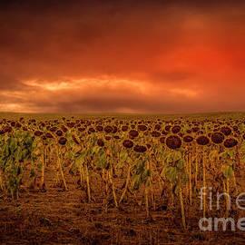 South Dakota Sunflowers by Mitch Shindelbower