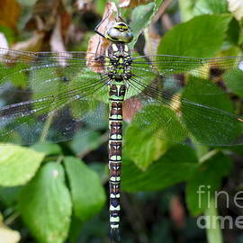 Southern Hawker dragonfly by Paul Boizot