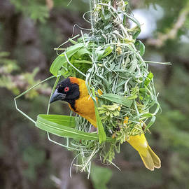 Southern Masked Weaver Bird by Eric Albright