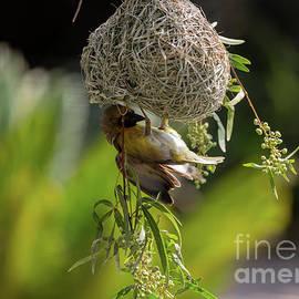 Southern Masked Weaver by Eva Lechner