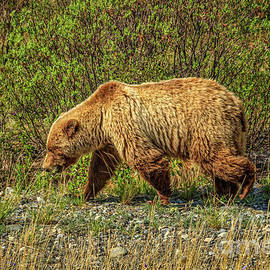 Sow Grizzly Bear by Robert Bales