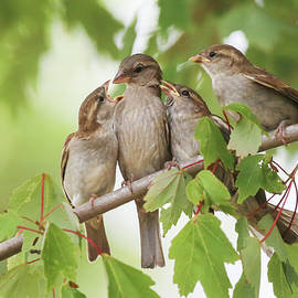 Sparrow Family by Donna Kaluzniak