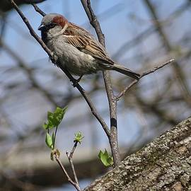Sparrow On A Limb by Theresa Campbell