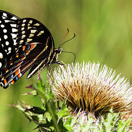 Spicebush Butteryfly in the Croatan National Forest - Eastern No by Bob Decker