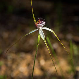 Spider Orchid, Beverley by Chris De Blank
