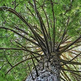 Spiral Branches at Muir Woods by Scott Eriksen