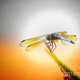 Spotlight On A Dragonfly by Kat Gail