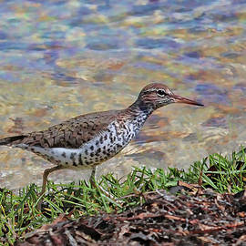 Spotted Sandpiper  by HH Photography of Florida