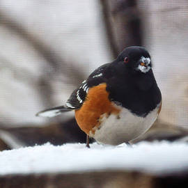 Spotted Towhee by Tracey Vivar