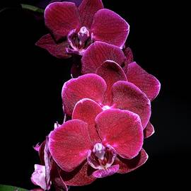 Spray of Purple Orchids by Marlin and Laura Hum
