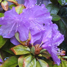 Spring Azaleas after a Shower by Barbara Ebeling