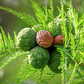 Spring Bald Cypress Cones by Donna Kennedy