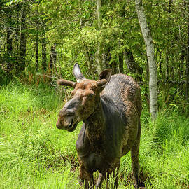 Spring Bull Moose by Alana Ranney