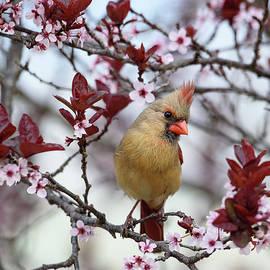 Spring Cardinal by Lara Ellis
