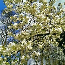 Spring cherry tree branches at Keukenhof Gardens by Amalia Suruceanu