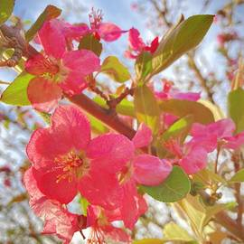 Spring Crabapple Blossom by Mary Lee Dereske