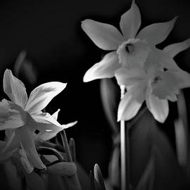 Spring Daffodils in Black and White by Elizabeth Pennington