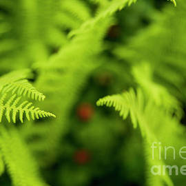 Spring Ferns in Maine Photograph by Alana Ranney