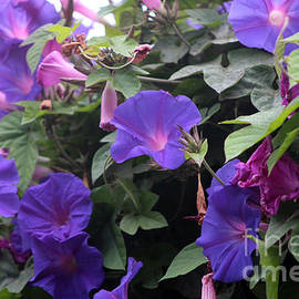 Spring Morning Glories in Blue by Colleen Cornelius