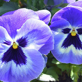 Spring Pansies by Terence Davis