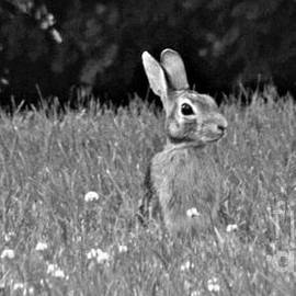 Spring Rabbit      Indiana       Grey Scale Copy by Rory Cubel