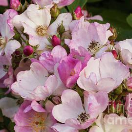 Spring Roses 2 by Elaine Teague