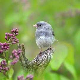 Spring Songbird Dark Eyed Junco by Christina Rollo