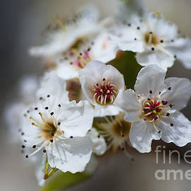Spring White Blossom Display  by Joy Watson