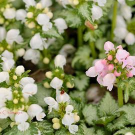 Springtime Beauties by Kae Cheatham