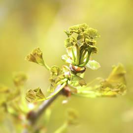 Springtime - Emerging Gingko  by Daniel Beard